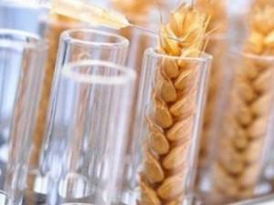 генномодифицированная пшеница в россии