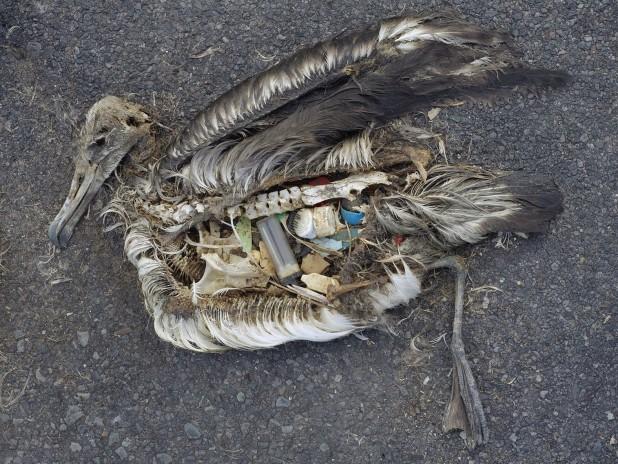 пластик в желудке птиц